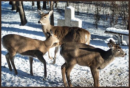 2018-12.deer.trio.2