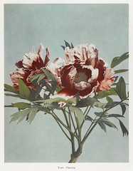 Tree Peony, hand-colored collotype from Some Japanese Flowers (1896) by Kazumasa Ogawa. Original from the J. Paul Getty Museum. Digitally enhanced by rawpixel.