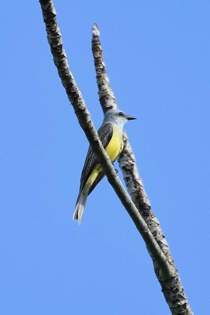 Couch's Kingbird, Eden Farm, Belize