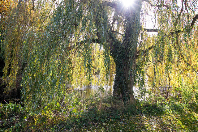 Weeping willow, The Vyne