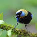 Golden-hooded Tanager by Digital Plume Hunter