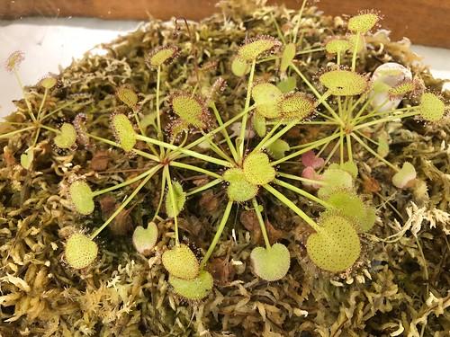 Drosera prolifera grown by AUSCPS coordinator Barry Bradshaw