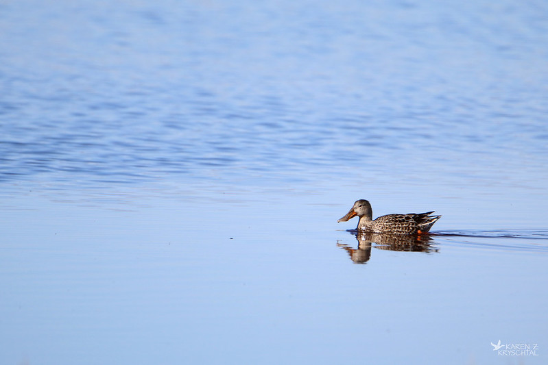 IMG_7275NorthernShoveler