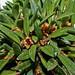 Maxillaria pumila; Orchidaceae (2)