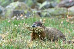 Vegan Marmot
