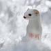 in winter fur by HZWGHZCZYNJQY77TJ5M3SKH6UC