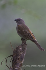 Southern Grey-headed Sparrow On An Ugly Perch