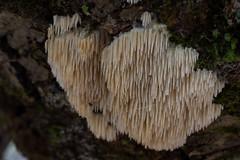 Dentipellis fungi