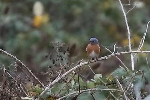 Eastern Bluebird, Multnomah Co., OR_5403(1)