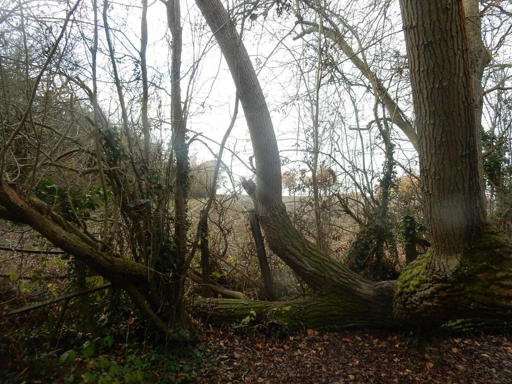 Gnarly tree Totteridge Circular