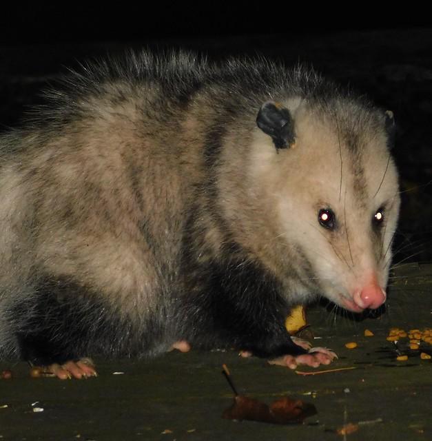 Opossum in Montgomery Co. (12/6/2018) Bell Bluff Rd. Gaithersburg Quad