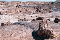 Lots of petrified wood logs in the sunshine of Petrified Forest National Park in Arizona