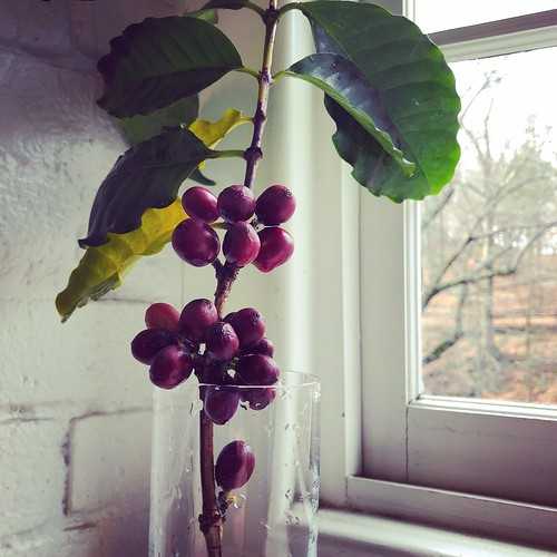 Some people have a cup of coffee in the morning...I have a vase of coffee. A cutting of Coffea arabica with fruit