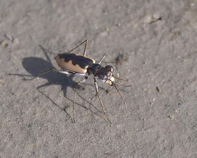 White-cloaked Tiger Beetle (Eunota togata) - 1