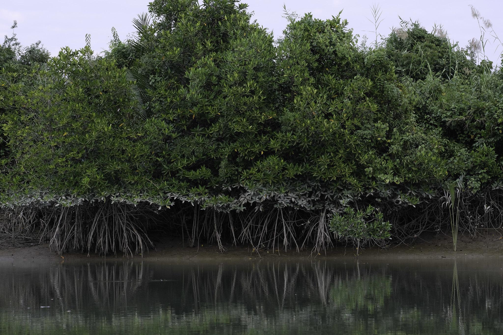 freda_mangroven2