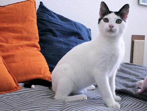 Morad, gatito blanco con toques negros muy juguetón nacido en Octubre´18, en adopción. Valencia. 46260851274_1258d5e750