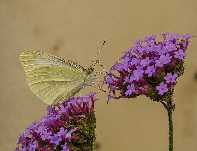 White butterfly, Nikon D7000, AF-S Micro Nikkor 60mm f/2.8G ED