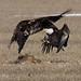 480 eagles