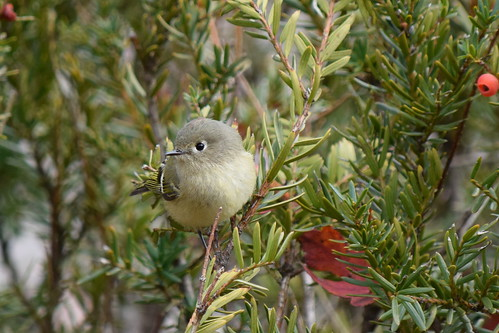Kinglet and berries