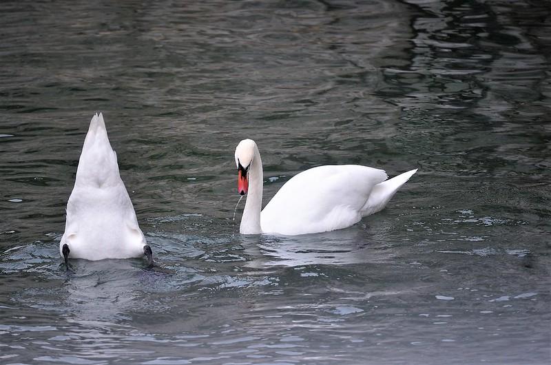 Swans 18.11 (3)