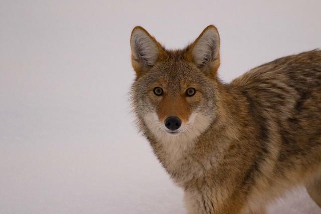 coyote-7614, Canon EOS 7D MARK II, Sigma 150-600mm f/5-6.3 DG OS HSM | C