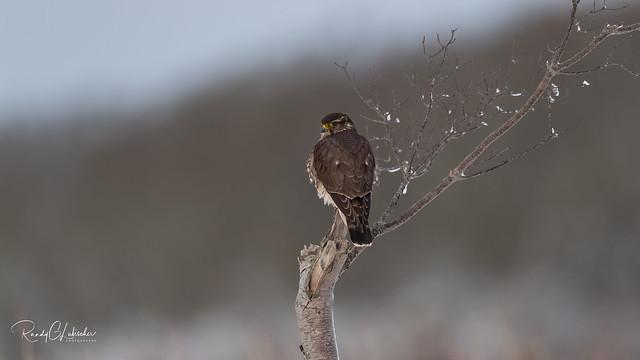 Merlin - Falco columbarius | 2018 - 11