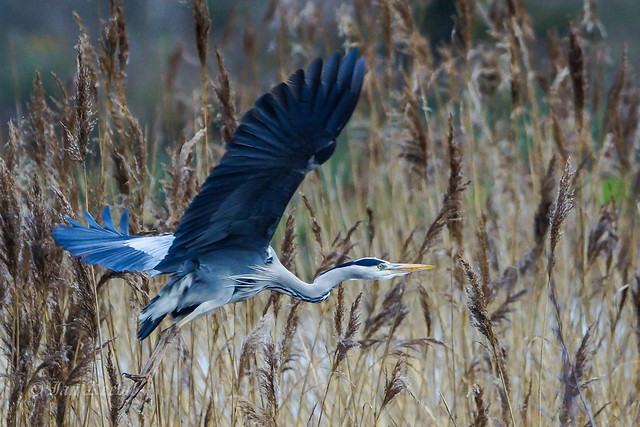 Grey Heron, Sony SLT-A77V, 70-400mm F4-5.6 G SSM