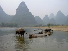 Swamp Buffaloes