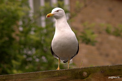 Lesser Black-backed Gull . Larus fuscus