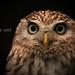 コキンメフクロウ:Little Owl