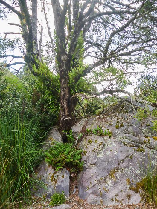 Split-rock Tree