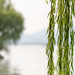There are a lot of Willows in Hangzhou