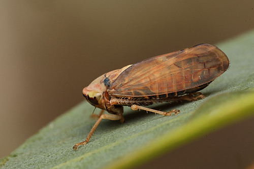 Spiny-legged Leafhopper (Brunotartessus sp?)