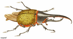 Hercules beetle illustration from The Naturalist's Miscellany (1789-1813) by George Shaw (1751-1813).
