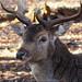 Portrait of a deer by Ostseetroll