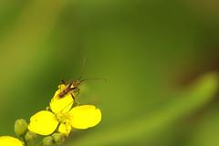 Plant bug on Raphanus raphanistrum