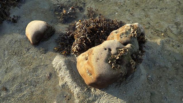 Tiny hexagonal coral (Family Merulinidae)