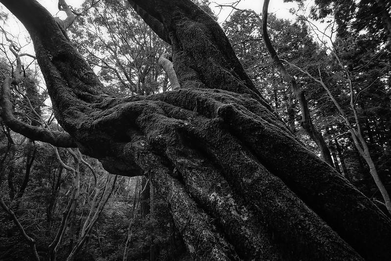 Old cherry big tree