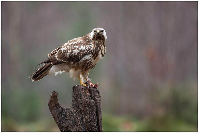 Common Buzzard - Buizerd, Canon EOS 5D MARK III, Canon EF 500mm f/4L IS