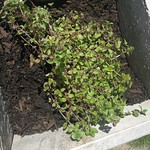 common thyme planting in The Deck by shiny