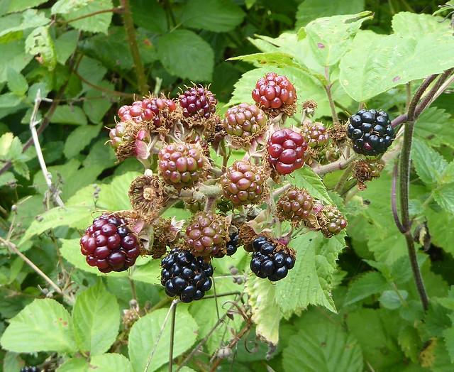 Blackberries along Fishchowter's Lane