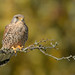 Juvenile male Kestrel.