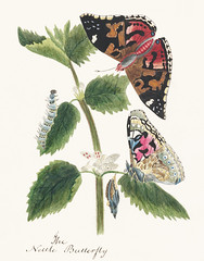 Antique watercolor illustration of nettle butterfly in various life stages published in 1824 by M.P. Original from New York public library. Digitally enhanced by rawpixel.