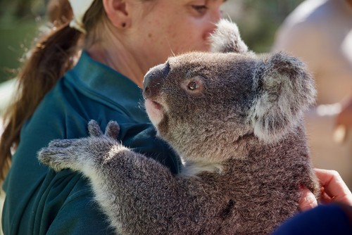 Friendly Koala