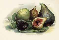 The fruit grower's guide : Vintage illustration of figs