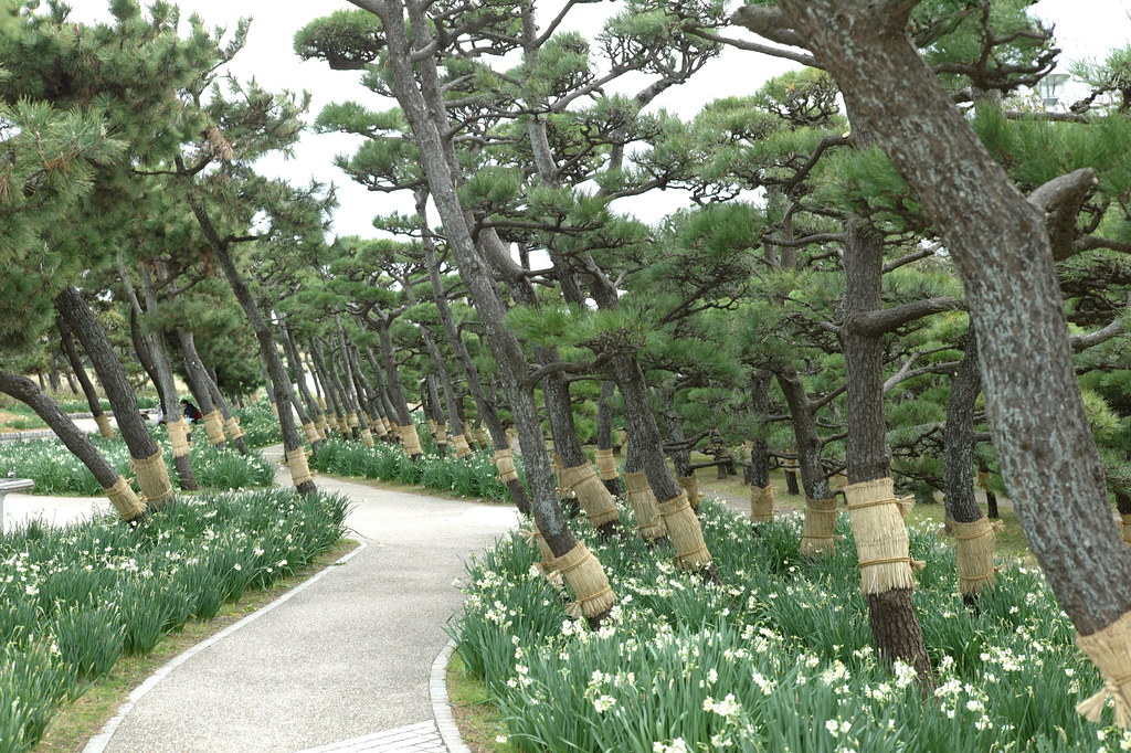 Narcissus and Black pine