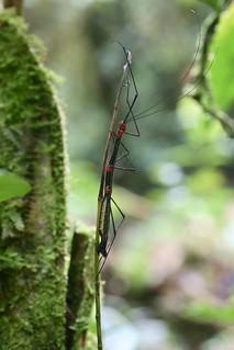 Oreophoetes topoense (Diapheromeridae: Diapheromerinae: Oreophoetini)