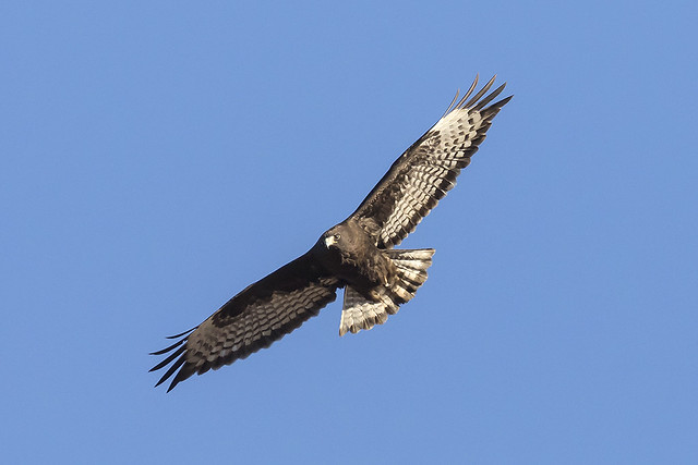 _31A5624 Red-tailed Hawk
