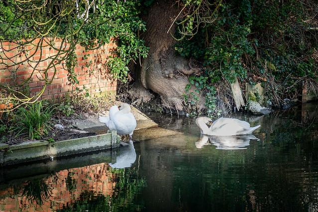 21/365 2 Swans a-Preening...