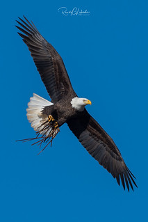 Bald Eagles of New Jersey | 2019 - 6